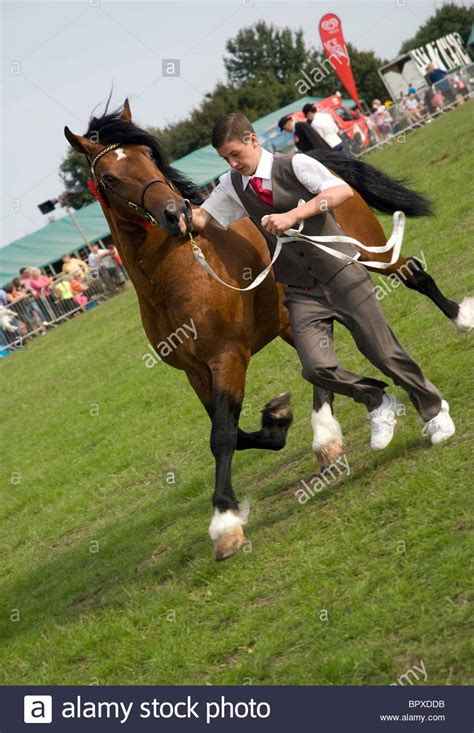 welsh section a showing a handler with a welsh cob stallion section d during a in