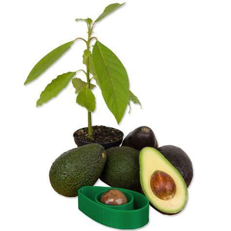 avocado seed boat avoseedo a handy tool to make growing avocado trees at