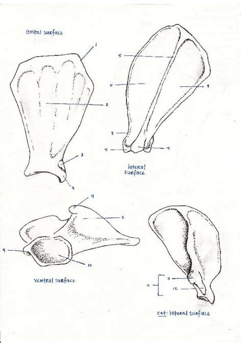 animal anatomy scapula veterinary sketches scapula feline and canine