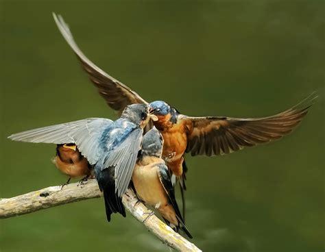 swallows feeding 6 photograph by kenneth haley