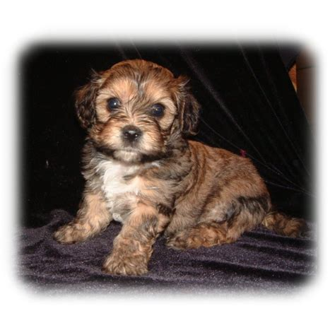 cavachon puppies for sale mn puppies for sale cavachon cavachons f category in cambridge minnesota