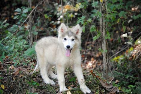 utonagan puppies for sale usa 1000 images about ღ tamaskan on tamaskan husky and photo galleries