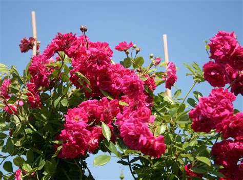 super excelsa ramblerrose super excelsa 174 rosa super excelsa 174 adr rose baumschule horstmann