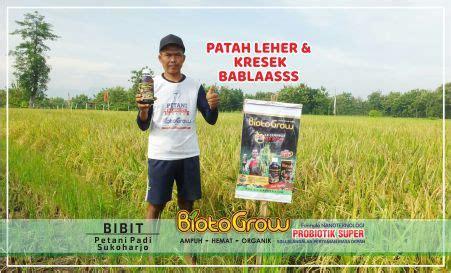 Pupuk Cair Hayati Biotogrow patah leher kresek padi hilang