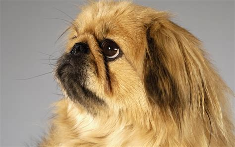 pekingese puppies pekingese photo and wallpaper beautiful pekingese pictures