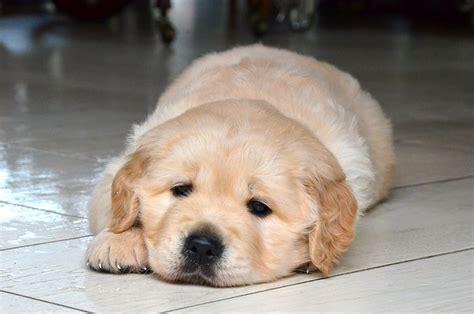 golden retriever breeders ontario reviews breeders canada golden in retriever breeds picture