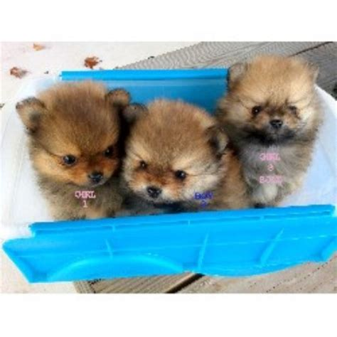 pomeranian breeder ontario m t kennel pomeranian breeder in winchester virginia