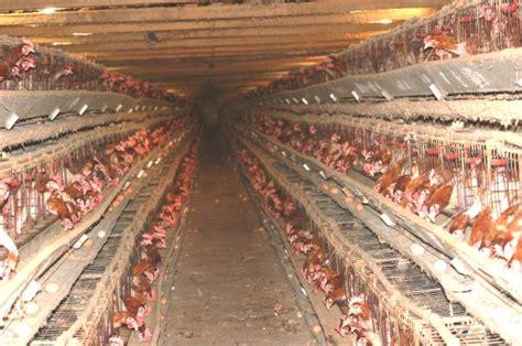 allevamento galline in gabbia meglio un uovo biologico che una gallina in gabbia freaks