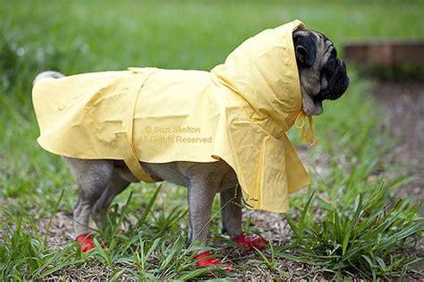 pug raincoat pug in yellow raincoat boots addorable animal pet pics