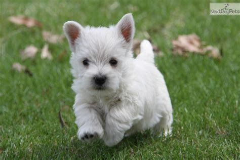 westie puppies for sale west highland white terrier puppies for sale personal