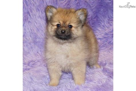 akc pomeranian puppies for sale pomeranian puppies for sale akc breeders puppy tips auto design tech