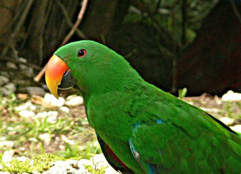 hd animals green parrot