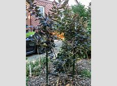 Experimental Pruning: Maybe Someday My Smokebush will be a ... T 34 Blueprints