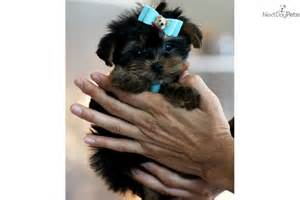 yorkie puppies fort lauderdale terrier puppy for sale in fort plain ny terrier breeds picture