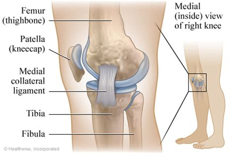 On Interior Of Knee by Ligaments Of The Knee Medial Inside View