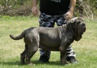 neapolitan mastiff puppies for sale cheap neapolitan mastiff for sale in mumbai maharashtra 9320185151 by mumbaikennels