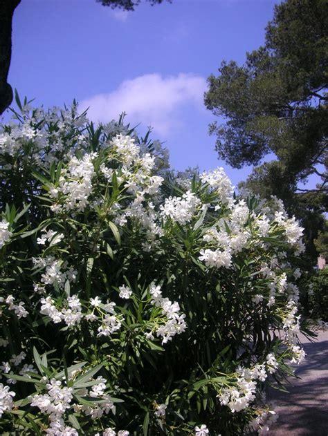 oleander     side fence  privacy