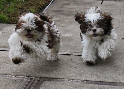 shih tzu children everything about your shih tzu my dogs