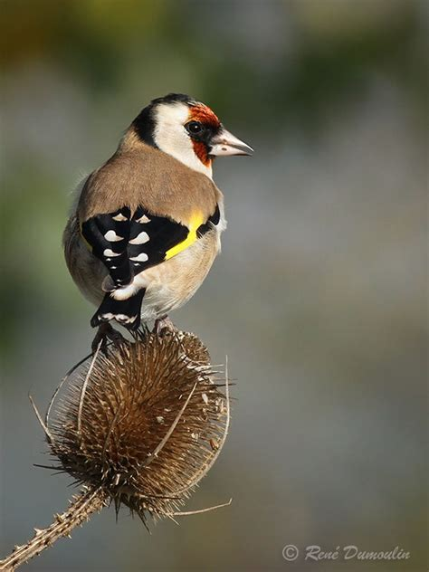 european goldfinch carduelis carduelis adult breeding