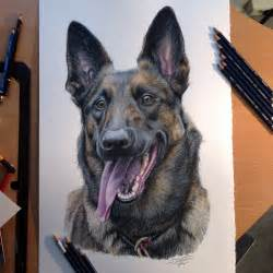 belgian malinois colors belgian malinois color pencil drawing by atomiccircus on