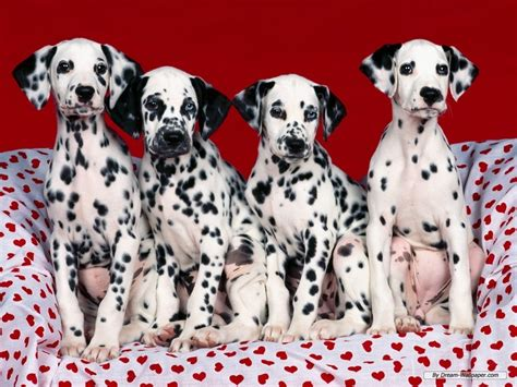 dalmatian puppy price dalmatian personality appearances history and pictures inspirationseek