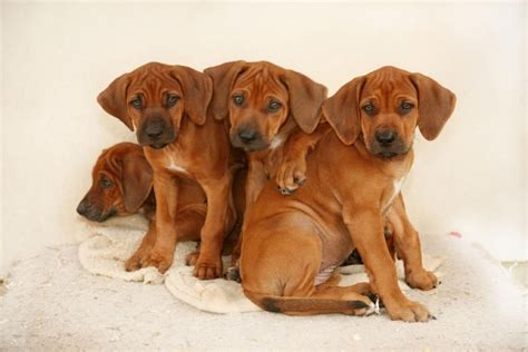 ridgeback dogs rhodesian ridgebacks