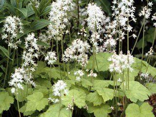 Blühende Sträucher Für Schattige Plätze 1053 by Schattenstauden 12 Beliebte Pflanzen Vorgestellt
