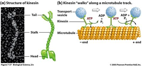 5 proteins in the 5 the structure and function of large biological