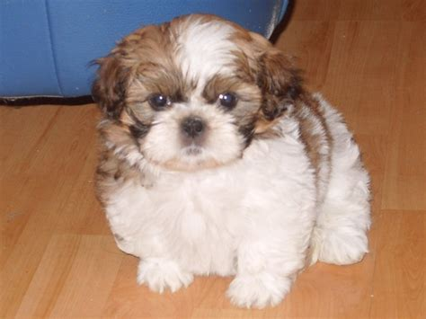 Shih Tzu Images Hd Wallpaper And Background Photos 11484125