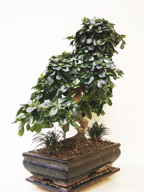 genki bonsai carmona fukientee fuk15 1 genki bonsai