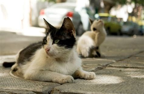 Inidia Cat 25 germans to neuter all stray cats the cat s
