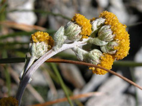 fiore artemisia fiore di artemisia fare di una mosca