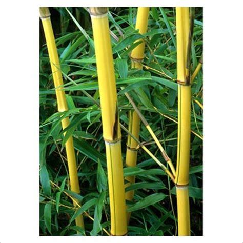 Tanaman Bangle Pot Pohon Bangle Dan Pot wawa doank tanaman yang memiliki energi positif penolak