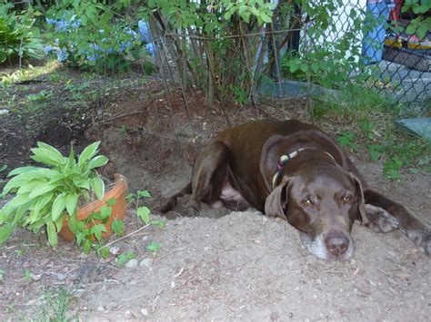 why do dogs dig holes in the backyard life with a dog who runs