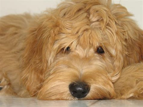 golden labradoodle puppy goldendoodle quot smiling quot and puppies goldendoodle happy friday and