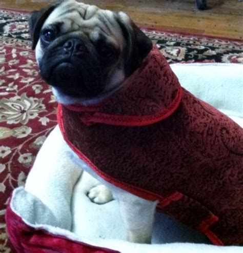 why were pugs bred with snouts ancient secret