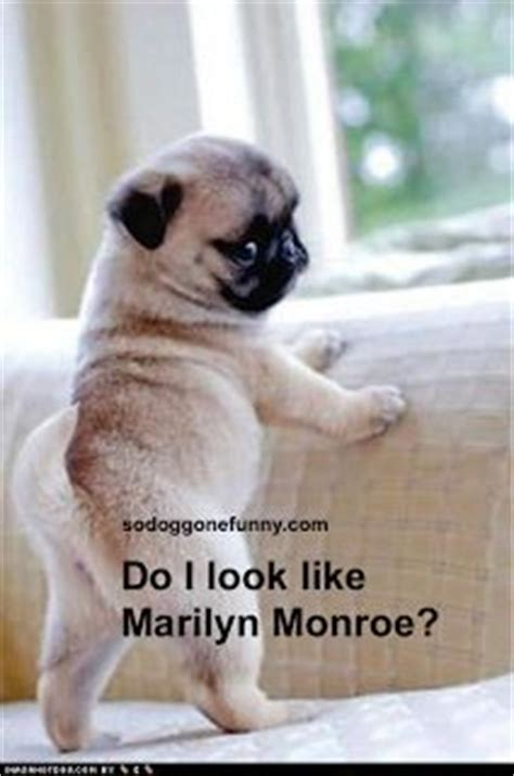 marilyn pug 10 best images about pugs on