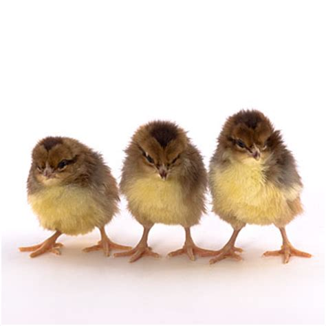 day  chicks speckled sussex