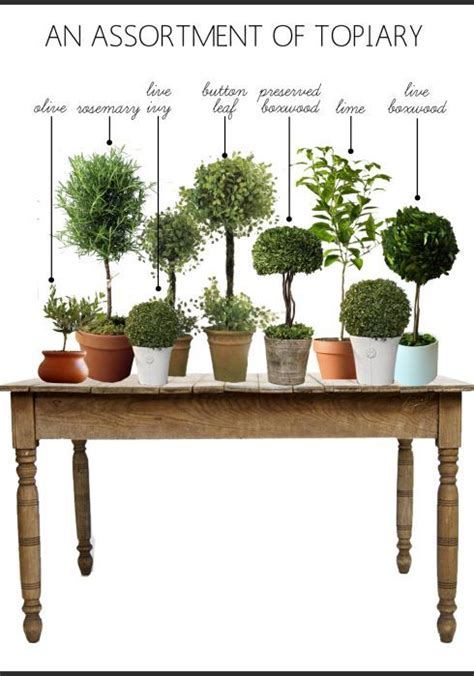 myrtle topiaries friday favorites  images indoor