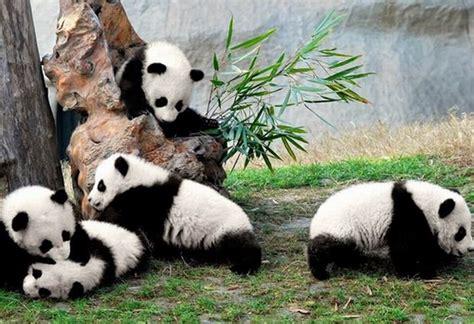 panda china panda of chengdu china car interior design
