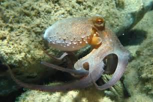 file octopus vulgaris2 jpg