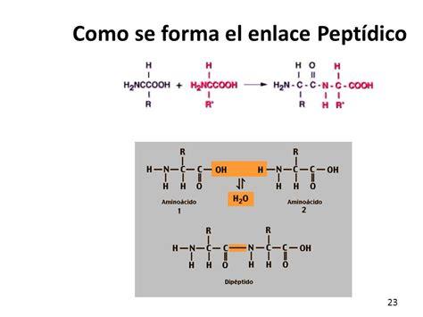 cmo se form el amino 225 cidos y p 233 ptidos ppt video online descargar