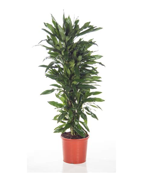 buy house plants now dracaena branched warneckii buy house plants now dracaena branched janet lind