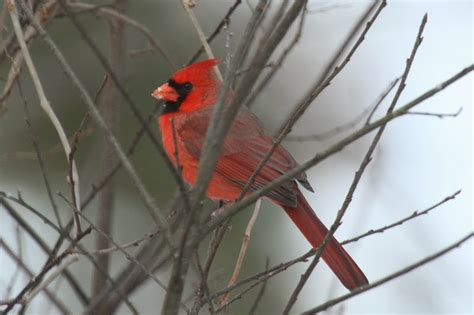 tails of birding the red bird