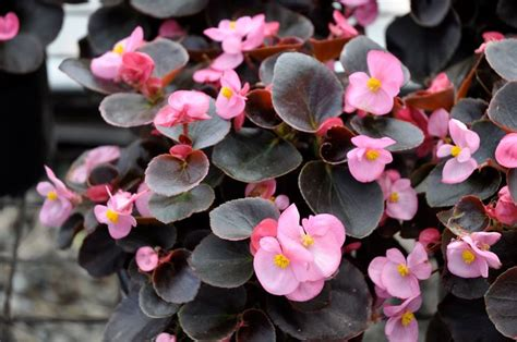 begonia fiore begonia piante da giardino le caratteristiche della