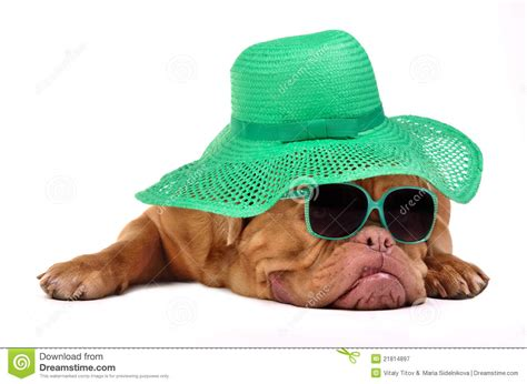 puppies with hats with hat and glasses royalty free stock photography image 21814897