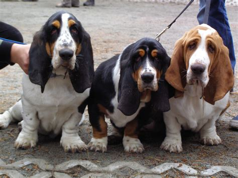 basset hound puppies wi file basset hound puppies x jpg