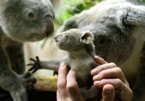 female koala pouch german zoo shows off its baby koala