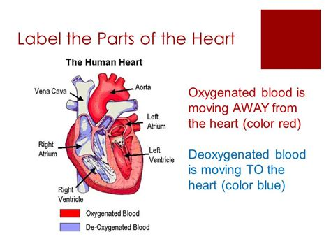 color of oxygenated blood the circulatory system ppt video online download