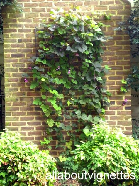 easy climbing plants 17 best images about flowers vines berries on